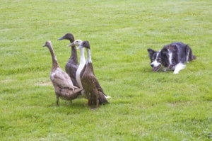 border-collie-herding-ducksFreeDigitalPhotos.net-attribution