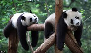 two exhausted pandas