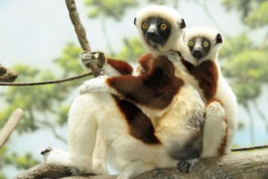 _Julie Larsen Maher 0105 coquerel s sifaka and baby 7 9 09 13
