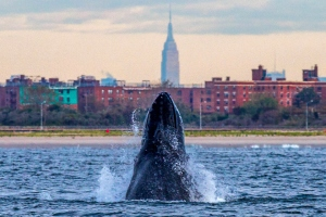 FOR SUNDAY -- PHOTO BY Artie Raslich --WHALE STORY CAPTION: araslich-3.jpg - Jerry the Humpback whale Spyhopping Off NYC, maybe Jerry was checking out the Empire State Building? Photo Artie Raslich