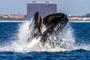 NEW YORK, NY - SEPTEMBER 4: Humpback whale lunge feeding off NYC's Rockaway Peninsula with Rockaway Beach in the background on September 4, 2014 in New York City. (Photo by Artie Raslich/Getty Images)